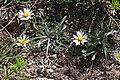 Erigeron eatonii 3168 - Flickr - andrey zharkikh.jpg