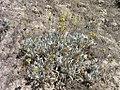 Eriogonum ochrocephalum var. calcareum in SW Idaho.jpg