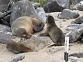 Espanola - Hood - Galapagos Islands - Ecuador (4871512658).jpg