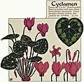 Etude de la plante - p.125 fig.163 - Cyclamen.jpg