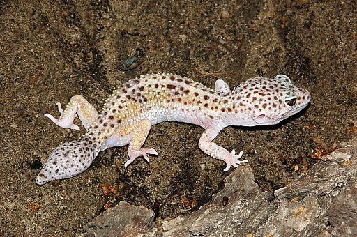 Leopard Gecko: definitely looks like a Godzilla.  Photo: Fritz Geller-Grimm