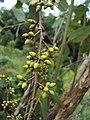 Eucalyptus camaldulensis 24.JPG