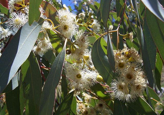 Plantas y terapias alternativas: la Medicina Naturista Universal+Secretos de salud, belleza y buena vibra: 640px-Eucalyptus_flowers2