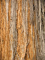 Eucalyptus macrorhyncha Stringy bark.jpg