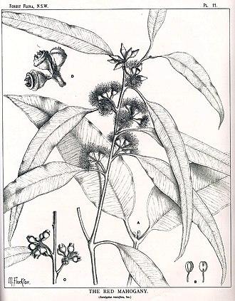 Eucalyptus resinifera - Eucalyptus resinifera drawing by Margaret Flockton