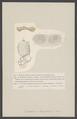 Eucoelium hospitiolum - - Print - Iconographia Zoologica - Special Collections University of Amsterdam - UBAINV0274 005 12 0015.tif