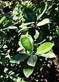 Eugenia brasiliensis - Naples Botanical Garden - Naples, Florida - DSC09598.jpg