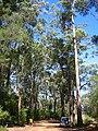 Eukalyptus WA.JPG
