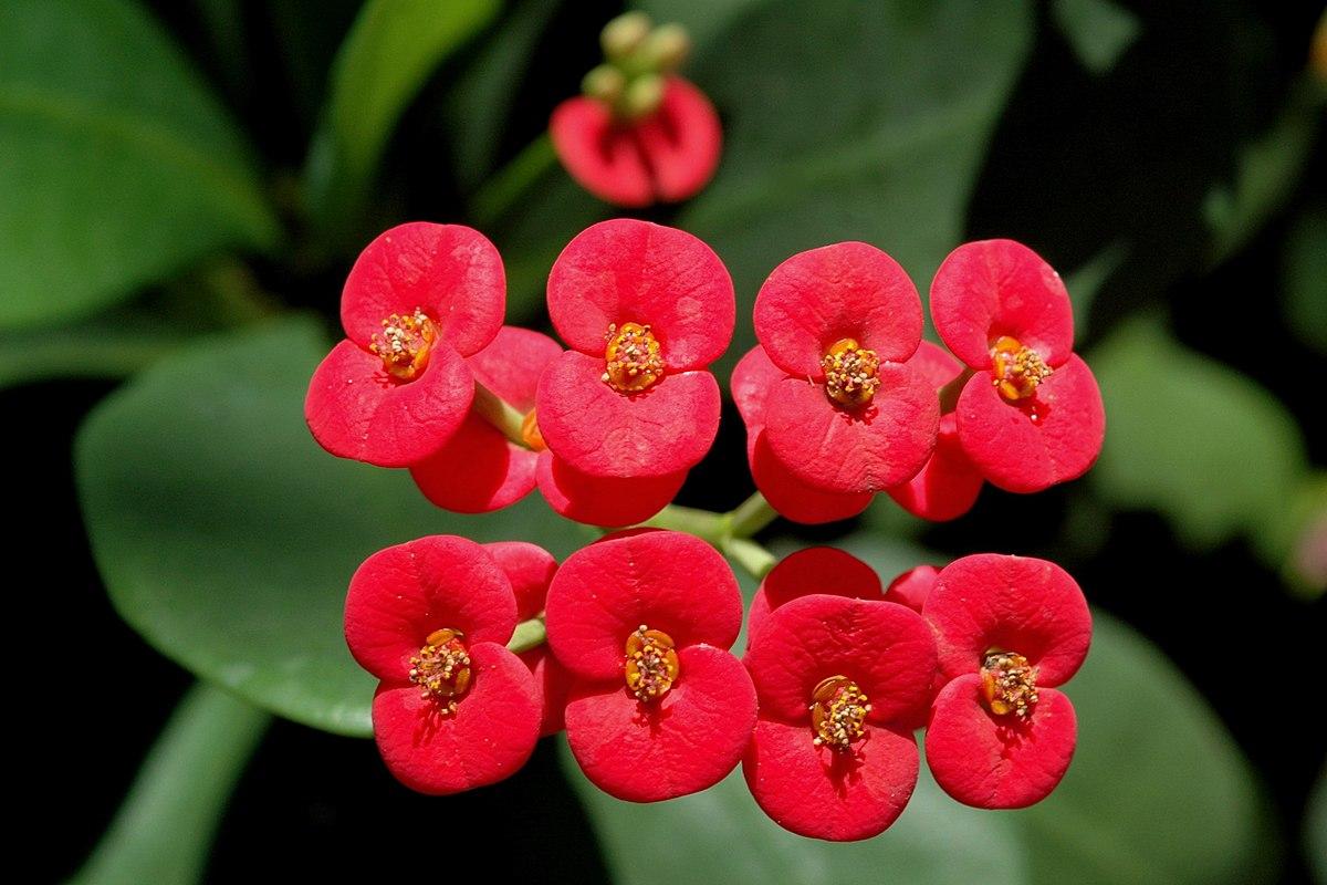 Épine du Christ, Euphorbia milii 1200px-Euphorbia_Milii_flowers