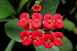 Euphorbia milii - Image: Euphorbia Milii flowers
