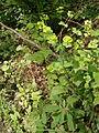 Euphorbia amygdaloides 001.JPG