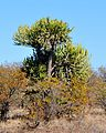 Euphorbia confinalis, a, Olifants.jpg