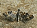 Eupithecia linariata - Toadflax pug - Цветочная пяденица льнянковая (40944508671).jpg