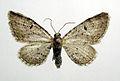 Eupithecia pimpinellata.jpg