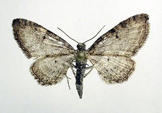 Grey pug - Image: Eupithecia subfuscata