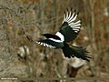 Eurasian Magpie (Pica pica bactriana) (23526291242).jpg