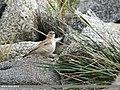 Eurasian Skylark (Alauda arvensis) (39778851502).jpg