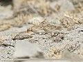 Eurasian Skylark (Alauda arvensis) (46304336871).jpg