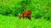 File:European roe deer (Capreolus capreolus) in Slovakia.webm