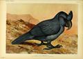 Extinctbirds1907 P7 Lophopsittacus mauritianus0295.png