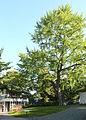 FFM-Roedelheim Ginkgo biloba 02.jpg