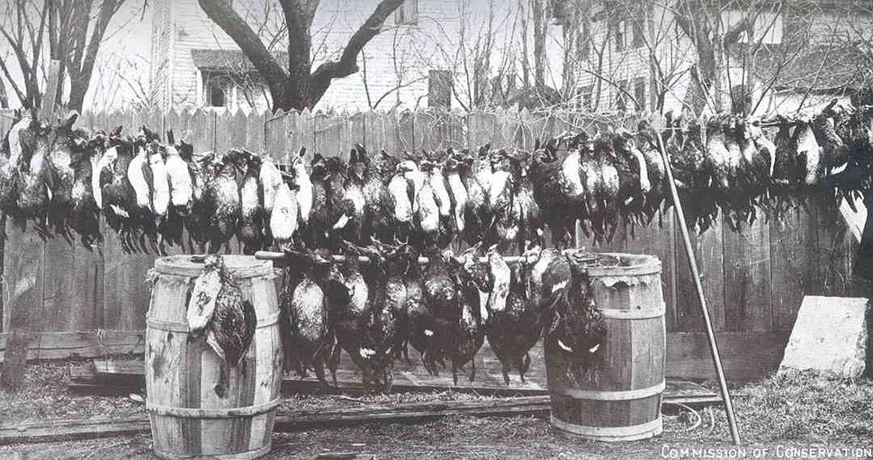FMIB 34651 Ducks Illegally Netted in Lake Ontario.jpeg