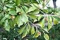 Fagus sylvatica 'Quercifolia' JPG1b.jpg