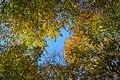 Fagus sylvatica Herbstlaub 02.JPG