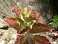 Fale - Kalanchoe sexangularis var. coccinea at Giardini Botanici Hanbury in Ventimiglia - 304.jpg