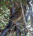 Female Blue Grosbeak - Flickr - gailhampshire.jpg