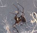 Female redback spider.jpg