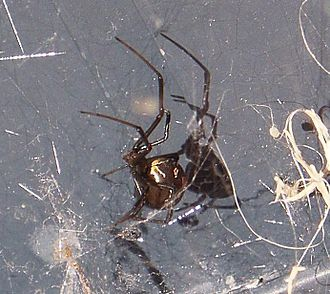 Redback spider - Female in its web