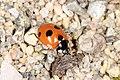 Femprikket marihøne (Coccinella quinquepunctata) (4910741405).jpg