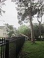 Fern St Tree 2.JPG