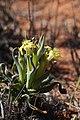 Ferraria uncinata subsp. macrochlamys (Iridaceae) (23686863028).jpg