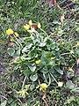 Ficaria calthifolia sl14.jpg