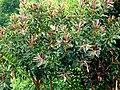 Ficus elastica (Caucho) (14275779875).jpg