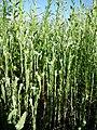 Filago vulgaris sl279.jpg
