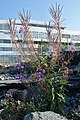 Fireweed (Chamaenerion angustifolium) - Oslo, Norway 2020-08-12.jpg