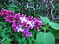 First Lilacs of 2013 (8818147244).jpg
