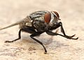 Flesh Fly Los Angeles 2015-08-06 1.jpg