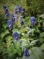 Fleur en Vanoise (28).JPG