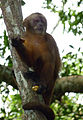 Flickr - Carine06 - Brown capuchin.jpg