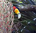 Flickr - Dario Sanches - TUCANO-DE-BICO-VERDE (Ramphastos dicolorus).jpg