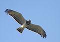 Flickr - Rainbirder - Beaudouin's Snake-Eagle.jpg