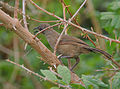 Flickr - Rainbirder - Scaly Babbler (Turdoides squamulatus) (2).jpg