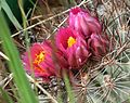 Flickr - brewbooks - Pediocactus simpsonii (12).jpg