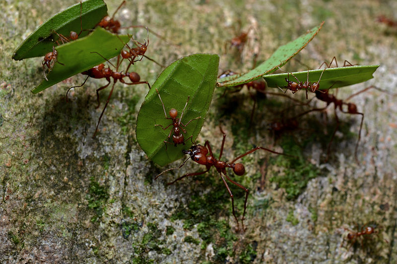 File:Flickr - ggallice - Leaf-cutter ants.jpg
