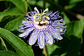 Flickr - ggallice - Passiflora incarnata (1).jpg