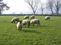 Flock of sheep in Ireland.jpg